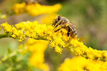 Bee on yellow goldenrod. Collects pollen and drink nectar. Yellow flower with insect.