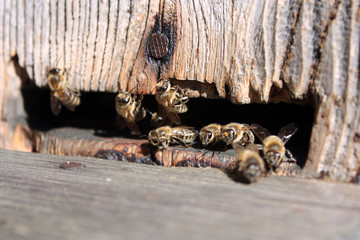 The bees enter the hive.