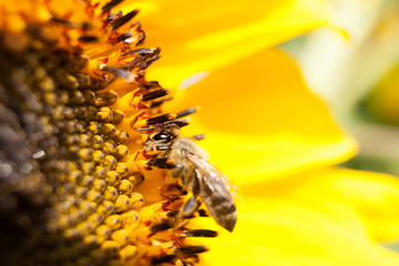 A bee on a sunflower. Collects pollen and drink nectar. Yellow flower with insect.