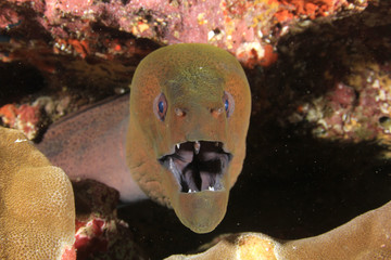Moray Eel and cleaner fish