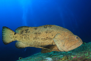 Wall Mural - Brown Marbled Grouper fish