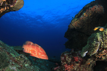 Coral Grouper (Coral Trout) fish