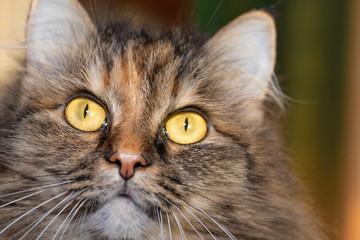 cat close up, emotion alertness, study