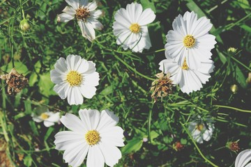 Group of white cosmos flower on green leaves background with space for your text and design. Concept for wallpaper, banner, background, billboard, desktop, backdrop and card.