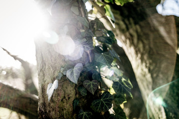 Ivy on a tree in the forest with lens flare