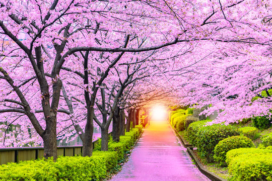 Light at the end of the cherry tree tunnel and walkway