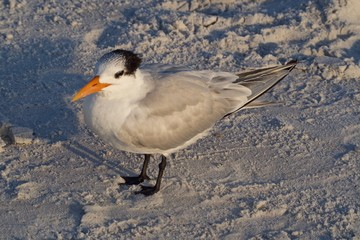Royal Tern Standing on the Beach