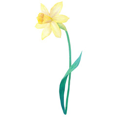 Narcissus. Yellow flower. Watercolor hand drawn illustration. Isolated on white background.