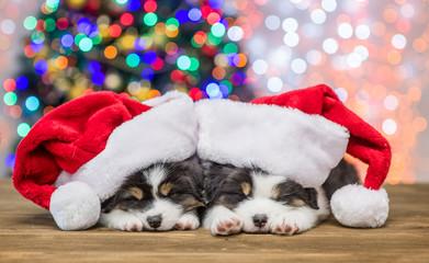 Australian shepherd puppies with red santa hats sleep with Christmas tree on background