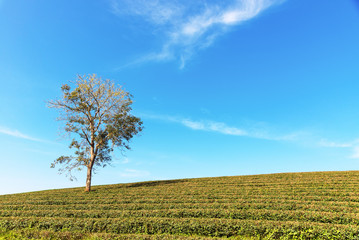 Alone tree on tea plantation and meadow with Blue Cloudy Sky in summer day, copy space.