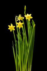 Daffodil flowers on black background