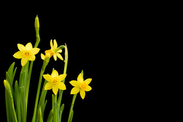 Daffodils on black background with copy space