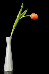 Tangerine tulip in slim white vase on black background
