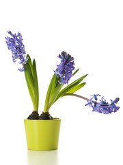 Potted Hyacinth Flowers Isolated on White Background