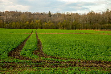 Path on the green cereal field.