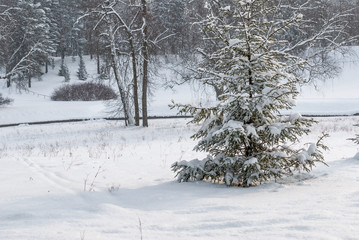 Winter frosty day and Christmas trees under the snow in the background of the forest
