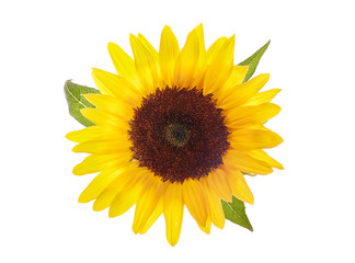 In de dag Zonnebloem FLOWER OF SUNFLOWER