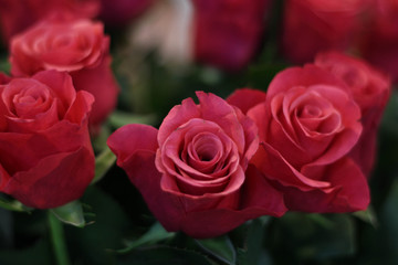 Pink blooming roses. Valentine's Day, pink roses