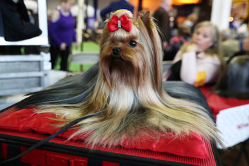 Pip, a YorkshireTerrier breed, sits during the 143rd Westminster Kennel Club Dog Show in New York
