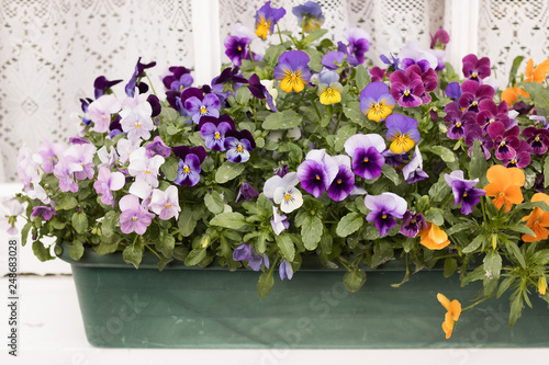 Beautiful Blossom Violets are in Long Flower pot on