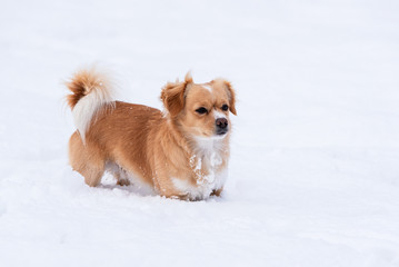 Petit chien dans la neige