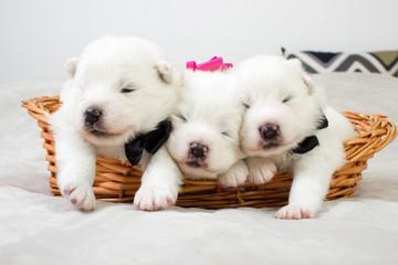 newborn Samoyed dog puppies