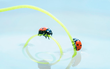 two red ladybugs crawling towards each other on a green herbal spiral in mirror water