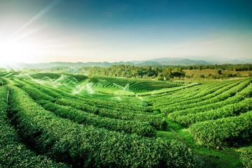 Green tea garden landscape sunset hill cultivation Fototapete