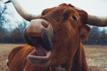 Wall Mural - Sleepy Texas Longhorn cow laying down yawning in farm pasture.