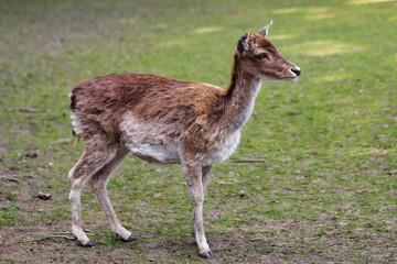 Full body of female fallow deer (dama, dama) on the meadow