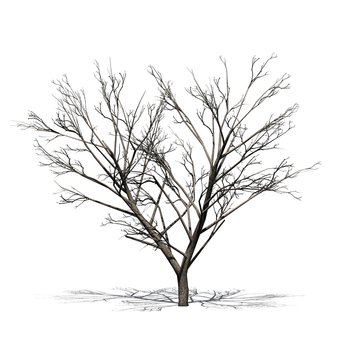 Honey Mesquite tree with shadow on the floor in winter - isolated on white background