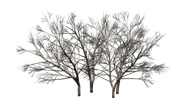 various Honey Mesquite trees in winter - isolated on white background
