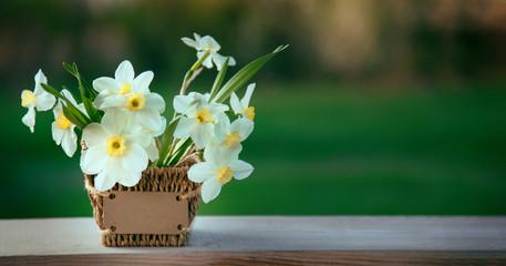 Narcissus flower. Spring flower in flower pot.