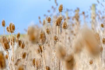sere teasel plants