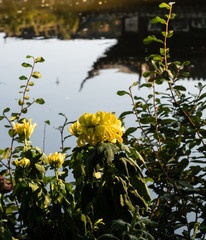Chrysanthemum flowers by the pond at classical Chinese garden