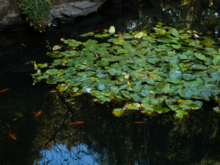 Pond with water lilies in traditional Chinese garden