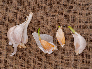Grow your own garlic, cloves growing on hessian background. Gardening, horticulture.