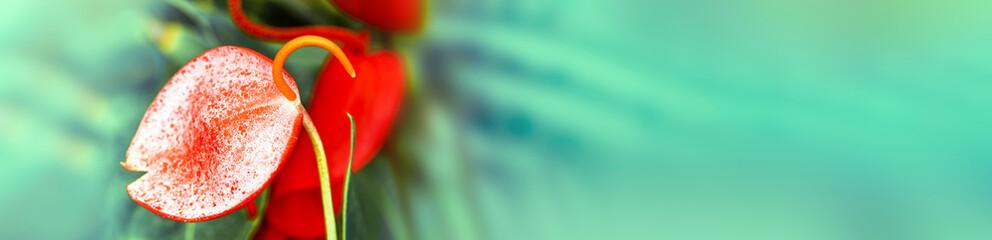 Anthurium Scherzerianum, colorful panoramic photo Shallow DOF