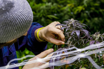 Legal cannabis grow room series - Marijuana growing and cultivation farmer checking his plants