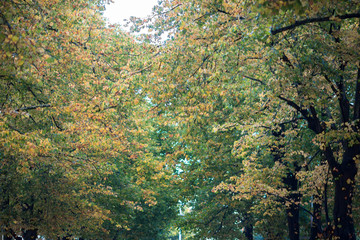 Linden tree in autumn