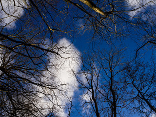 Abstract view, looking up through a beautiful winter forest with different trees, on nature trail with blue sky with white cloud at sunset