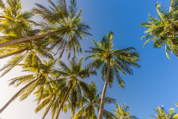 Tropical trees background concept. Beautiful exotic nature view, wonderful palm trees, looking up