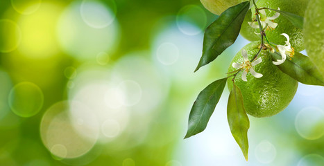 Fototapete - lemon on a branch close up