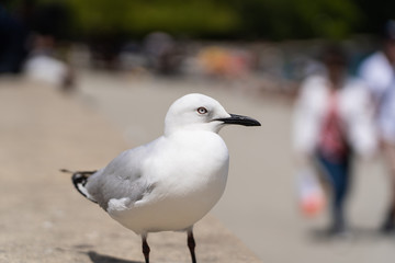 close up photography of a seagull in Queenstown New Zealand, amazing image of a gull with blurry background, animal photography