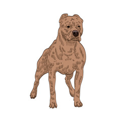 pedigree dog stafford shire terrier