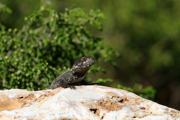 the lizard sits on a rock and basks in the sun