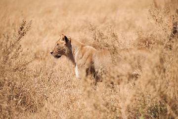 Wonderful lioness walks in the savannah.