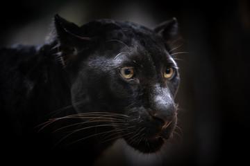Closeup Black panther