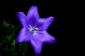 Deep Blue Platycodon Flower Isolated on Black Background