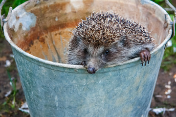 Hedgehog climbs out of the bucket.